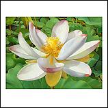 Lotusbloem met roze