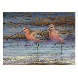 Bar-tailed Godwits