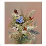 Vlinderstruik