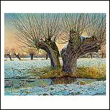 Pollard willow in winter