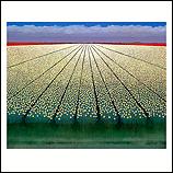 White tulipfields