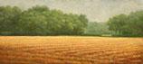 Cut cornfield