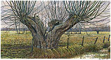 The old Pollard willow near Tersc…