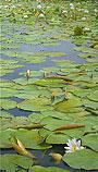 """Waterlelies bij de """"Ronde Hoep&q…"""