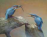 Tragen Eisvögel