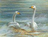 Twee wilde zwanen