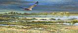Western Marsh Harrier