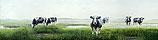 Koeien in mist