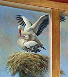 Ooievaars op nest