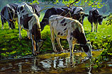 Black and white Holstein cattle drink…