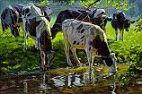 Zwartbont vee drinkend uit een be…
