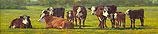 Groninger Blaarkop cattle