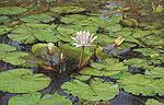 Tropische Waterlelie