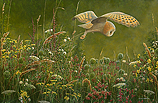 Barn owl in evening light