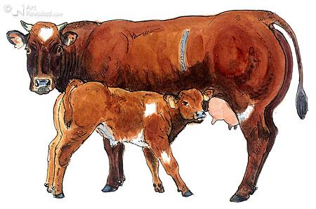 Verbeterd Roodbont Vleesvee