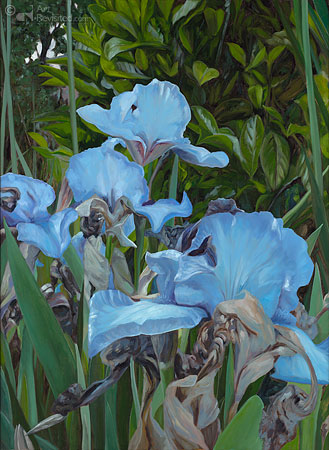 Nachtblauwe Iris