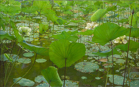Rainyday Lotus