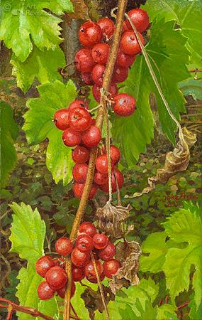: Black Bryony in the vineyard