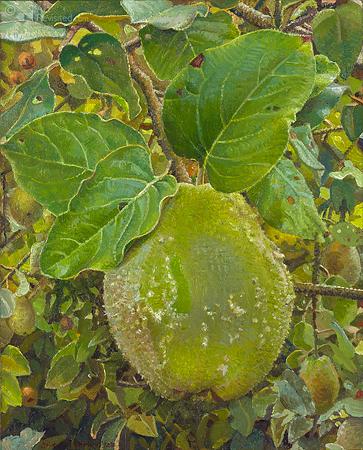 Green-Velvet Quince