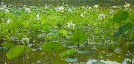 Eagerly Growing Lotus