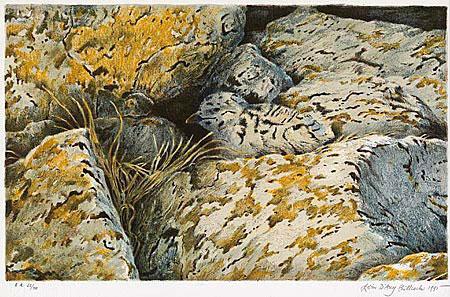 Jonge mantelmeeuw, Lofoten
