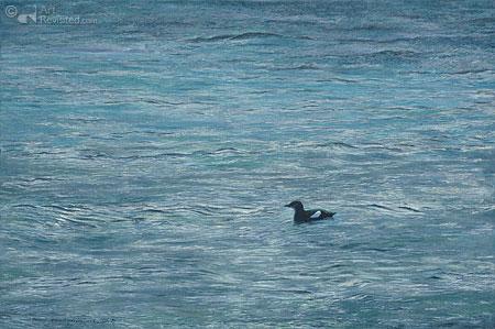 Mostad baai, lofoten (Zwarte zeekoet)